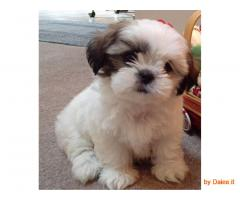 Adorabili cuccioli di SHIH TZU femminucce e maschietti disponibili per l'adozione
