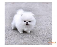 Offro In Regalo cucciolo cucciolo di spitz - volpino di pomerania realmente mini toy