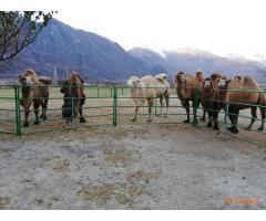 Disponibili cammelli maschi di vari colori
