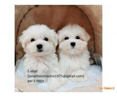 Regalo mini toy cuccioli maltese