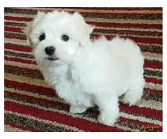 CUCCIOLI DI MALTESE MINI TOY,