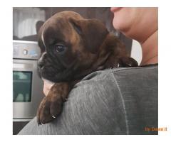 disponibile dolce cucciolo di boxer maschio tigrato